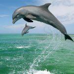 dolphin's show _Hengam island_Iran